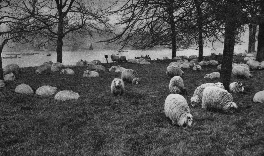 Hyde Park: Shepherd and His Sheep